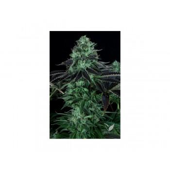 Darkstar kush (2) 100% t.h. seeds