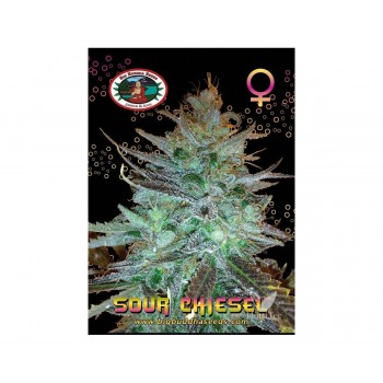 Sour chiesel  (5) 100%  big buddha seeds